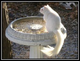 Albino Tree Rat by midgard