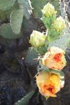 Prickly Pear Blossoms April 30 by kradtke
