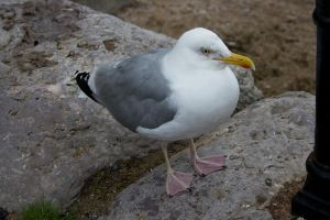 Seagull 4 by joannastar-stock