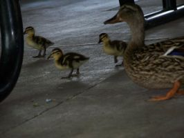 Mother and Ducklings by flourpie