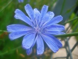 Chicory '03 by gr-unique