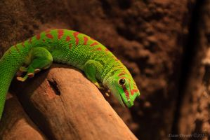 Day gecko by Daan-NL
