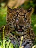 Northern China Leopard Cub by Abyssinians
