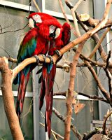 Macaws 3 by TiffyLiz