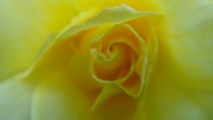Yellow Rose by AnonymousRabbitLover