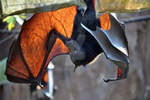 Fruit Bat : Animal Kingdom by ainslaeigh