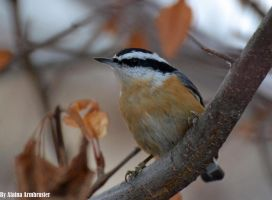 Red Breasted Nuthatch by AlainaLee