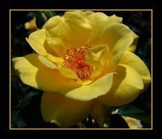 yellow rose by inf23
