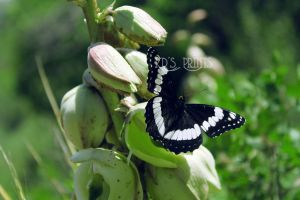 Black Butterfly by KelliDawnPhotography