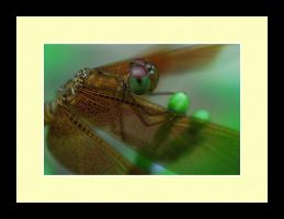 Dragonfly Photo 17 by blookz