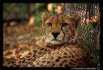 Cheetah Portrait II by TVD-Photography