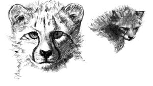 Assignment 1 Studies: Juvenile Cheetahs 4 by winterbourne