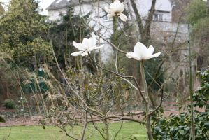 view to white magnolias 2 by ingeline-art