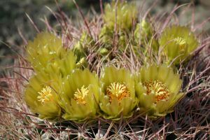 Barrel Cactus Bloom by goatgirlart