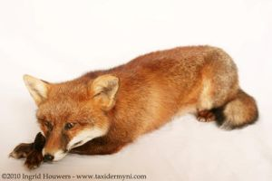 Taxidermy - Laying Fox by Illahie