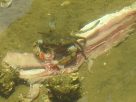 Blue Crab and Long-Clawed Hermit Crab 2 by AxelHonoo