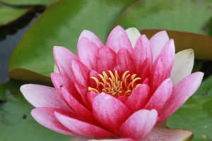 Pink water lily - 2 by fehimesen
