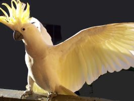 Cockatoo with wing span by alilone