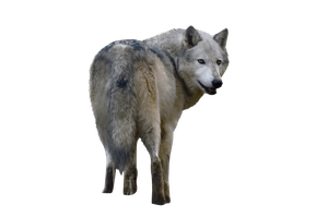 Precut Wolf 3 PNG stock ressource by VoodooCabaret