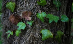 Ivy leaves by NDC880117