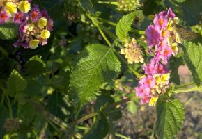 Peach Sunrise lantana with little butterfly by SatsubatsuNiwa