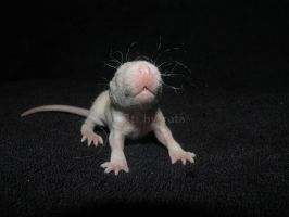 happy baby rat by Itchys-rats
