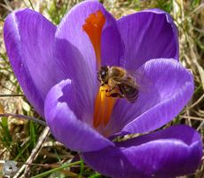 Crocus with Bee by IndianRain