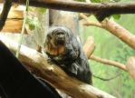 White Faced Saki(Female) by VolpeTrickster