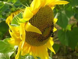 Sunflower with Bee by ellenm1