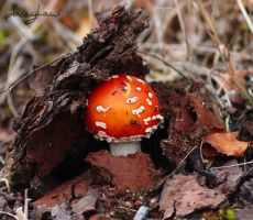 Fly agaric rising by Jassylaw