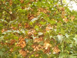 Maple Tree Seeds 2 by DerpyDash64