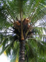 King Kong Palm by engravedwithMusic