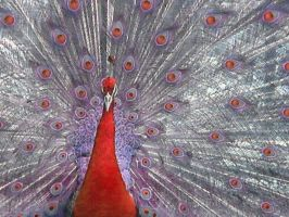 Red Feathers by kawl4sure