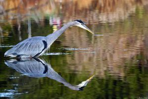 Heron Reflection by mydigitalmind