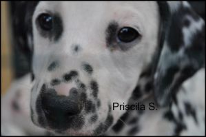 Dalmatian Puppy 3 by Decode-That