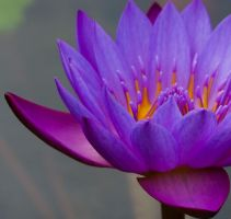 Water Lilly by LiiLiiFish