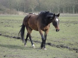 Bay walking horse by Horselover60-Stock