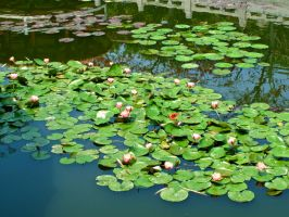 Water Lilies by Brunch-with-HotChoco