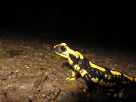 Fire Salamander by s8472