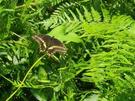Black Swallowtail Butterly by NyanaeveStock
