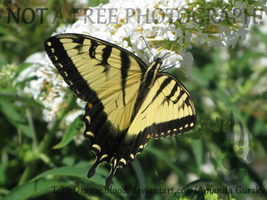 Swallow Tail Butterfly_02 by ToxicDragonBlood