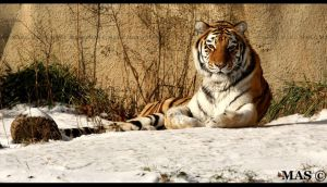 Amur Tiger_7561v by MASOCHO