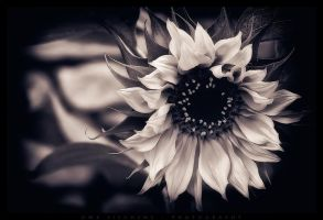 The last sunflower by Crossie