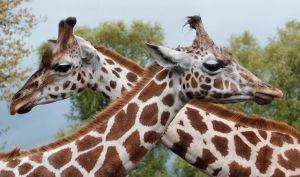Two-by-Two at Chester Zoo by dranrebesor