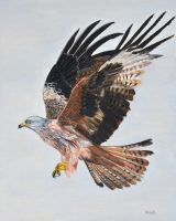 Red Kite In Flight by Mararda