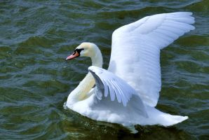 Swan Lake by CanveySue