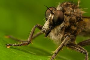Robber Fly 3 by Alliec