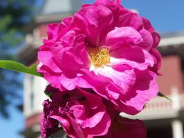 Wild Roses by AllyCat1994