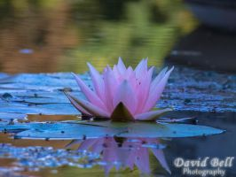 Water Lily by DavidTiger