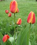 Pink And Gold Tulips by seaglasshunter